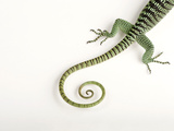 A Rosenberg's Monitor Tail, Varanus Rosenbergi, at the Fort Worth Zoo Photographic Print by Joel Sartore
