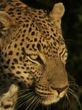 Close Up Portrait of a Leopard, Panthera Pardus Photographic Print by Bob Smith