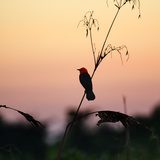A Scarlet-Headed Blackbird, Amblyramphus Holosericeus, at Sunset Photographic Print by Alex Saberi
