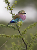 Portrait of a Lilac-Breasted Roller, Coracias Caudata Papier Photo par Roy Toft