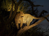 A Female Leopard, Panthera Pardus, Treed by Wild Dogs at Dusk Photographic Print by Bob Smith