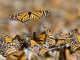 Monarch Butterflies in the Sierra Chincua Sanctuary Photographic Print by Joel Sartore