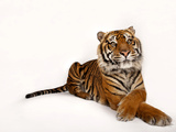 A Critically Endangered Sumatran Tiger, Panthera Tigris Sumatrae Photographic Print by Joel Sartore