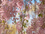 Weeping Higan Cherry Tree Branches, Prunus Subhirtella Var. Pendula Fotografie-Druck von Darlyne A. Murawski