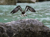 A Brown Booby Lands on the Western Coast of Socotra Island Photographic Print by Michael Melford