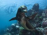 A Galapagos Sea Lion Pauses as Tourists Snorkel on the Surface Fotografisk tryk af Mauricio Handler