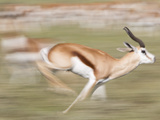 A Springbok, Antidorcas Marsupialis, Running Past a Herd Photographic Print by Roy Toft