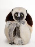 A Coquerel's Sifaka, Propithecus Coquereli, at the Houston Zoo Photographic Print by Joel Sartore