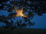 An African Lion Climbs a Tree to Sleep Fotografie-Druck von Joel Sartore