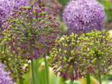 Group of Allium Inflorescences with Flowers and Buds Impressão fotográfica por Darlyne A. Murawski