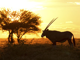 Silhouetted Gemsbok, Oryx Gazella, and Tree at Sunrise Photographic Print by Roy Toft