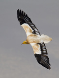 An Egyptian Vulture in Flight Above Detwah Lagoon Photographic Print by Michael Melford