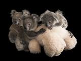 Federally Threatened Koala Joeys Snuggle with a Stuffed Animal Photographic Print by Joel Sartore