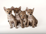 Coyote Puppies, Canis Latrans, at Nebraska Wildlife Rehab Photographic Print by Joel Sartore