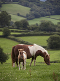 Shetland Ponies Graze on the Lush Rolling Hills of Mid-Wales Photographic Print by Jim Richardson