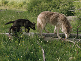 A Black Gray Wolf Pup Follows a Mid-Ranking Female Adult Photographic Print by Jim And Jamie Dutcher