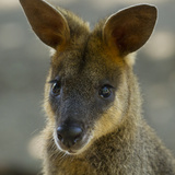 Portrait of a Wallaby Photographic Print by Michael Melford