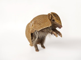 A Southern Three-Banded Armadillo, Tolypeutes Matacus Photographic Print by Joel Sartore