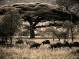 Herds of Animals Graze in the Serengeti Plains Fotografisk trykk av Jim Richardson