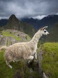 A Llama Jumps a Crevasse at Machu Picchu Photographic Print by Michael Melford