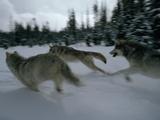 Gray Wolves in Pursuit of Game Reproduction photographique par Jim And Jamie Dutcher