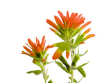Indian Paintbrush Flowers, Castilleja Coccinea Photographic Print by Joel Sartore