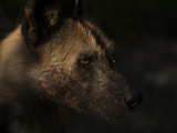 Close Up of a Painted Wolf or Cape Hunting Dog, Lycaon Pictus Photographic Print by Beverly Joubert