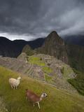 Llamas Walk around at Machu Picchu Photographic Print by Michael Melford