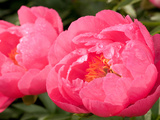 Large Bright Pink Peony Flowers, Paeonia Species, with Rain Drops Photographic Print by Darlyne A. Murawski