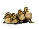 Four Mallard Ducklings, Anas Platyrhynchos Photographic Print by Joel Sartore