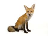 A Red Fox, Vulpes Vulpes Photographic Print by Joel Sartore