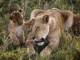 Cubs Play with a Lioness Fotografisk trykk av Jim Richardson