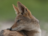 Portrait of a Black Backed Jackal, Canis Mesomelas Photographie par Beverly Joubert