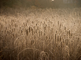 Cattails Going to Seed Among Golden Grasses Photographic Print by Heather Perry