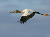Wood Stork, Mycteria Americana, in Flight Photographie par Paul Sutherland