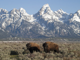 Buffalo or Bison Bulls, Bison Bison, in Front of the Teton Range Fotografisk tryk af Greg Winston