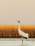A Calling Whooping Crane in Wintering Grounds Photographic Print by Klaus Nigge
