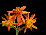 Mexican Flame Vine Flowers, Pseudogynoxys Chenopodioides Photographic Print by Joel Sartore