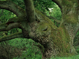 One of Germany's Most Impressive Old Oak Trees Photographic Print by Norbert Rosing
