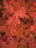 Maple Leaves in Fall Colors Photographic Print by Greg Winston