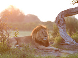 Sunlight Warms an African Lion Laying at Rest Stampa fotografica di Roy Toft