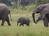 African Elephants, Loxodonta Africana, Walking Through a Swamp Photographic Print by Roy Toft