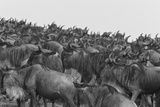 A Herd of Migrating Wildebeests, Connochaetes Taurinus Impressão fotográfica por Beverly Joubert