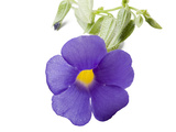 A Blue Glory, Thunbergia Battiscombei, Flower Photographic Print by Joel Sartore