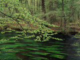 New Beech Tree Leaves over the Wuerm River in Spring Photographic Print by Norbert Rosing