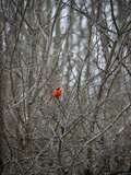 A Red Cardinal Perches in a Leafless Tree Photographic Print by Jodi Cobb