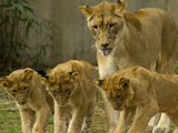 A Lioness and Her Cubs, Panther Leo, Socializing Photographic Print by Paul Sutherland