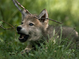 A Male Gray Wolf Pup Learning to Howl Photographic Print by Jim And Jamie Dutcher