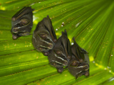 Tent Making Bats Share Space on a Giant Leaf Photographic Print by Michael Melford