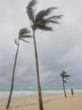 Large Palm Trees Sway in Wind as Hurricane Igor Approaches the Beach Photographic Print by Mike Theiss